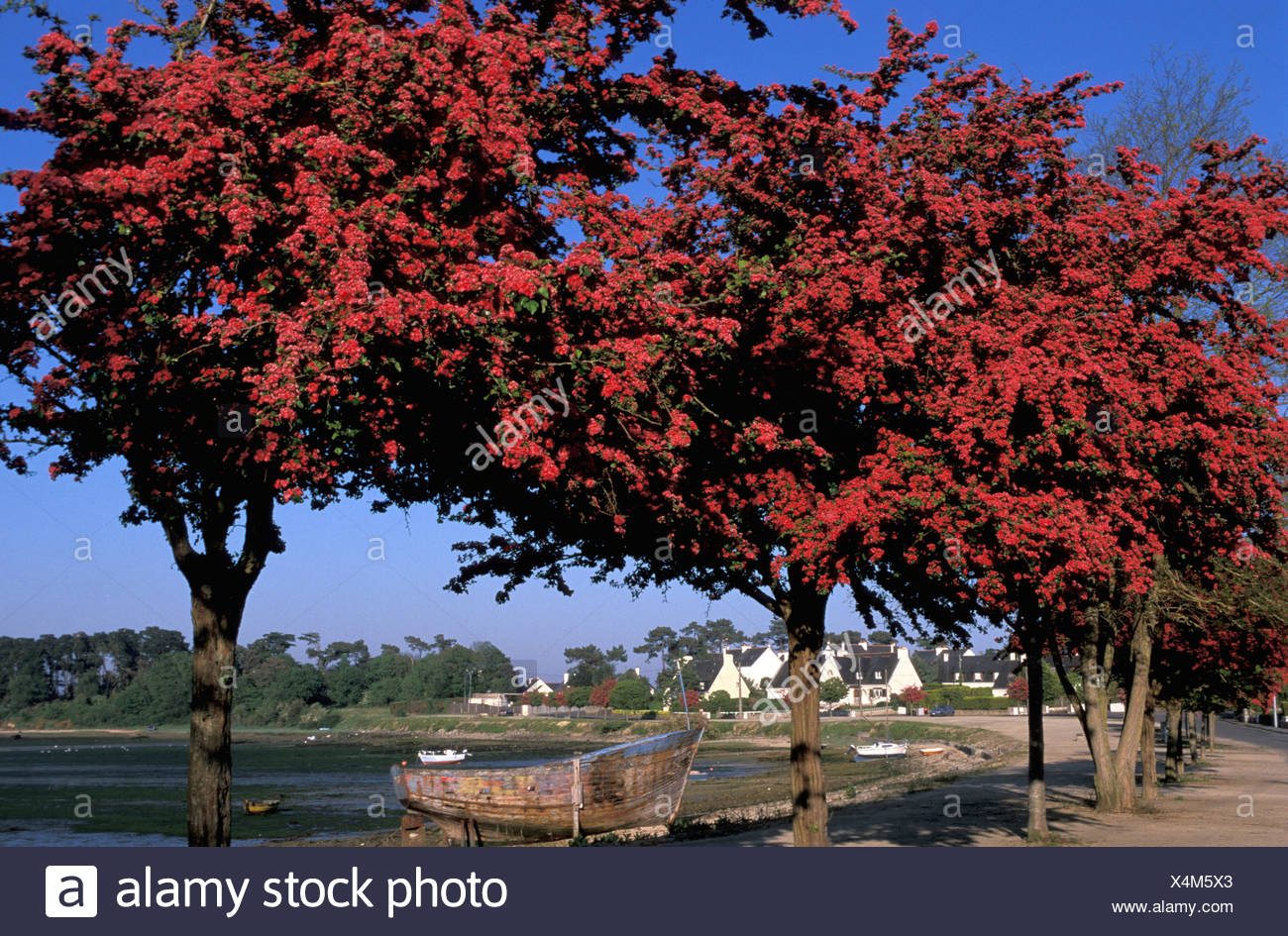Trees, bloom, Port Louis, Brittany, Bretagne, France, Europe, red Stock Photo