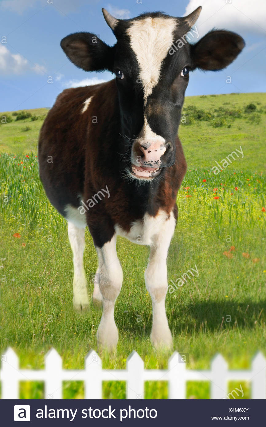 Cow in green field behind fence (Digital Composite) - Stock Image