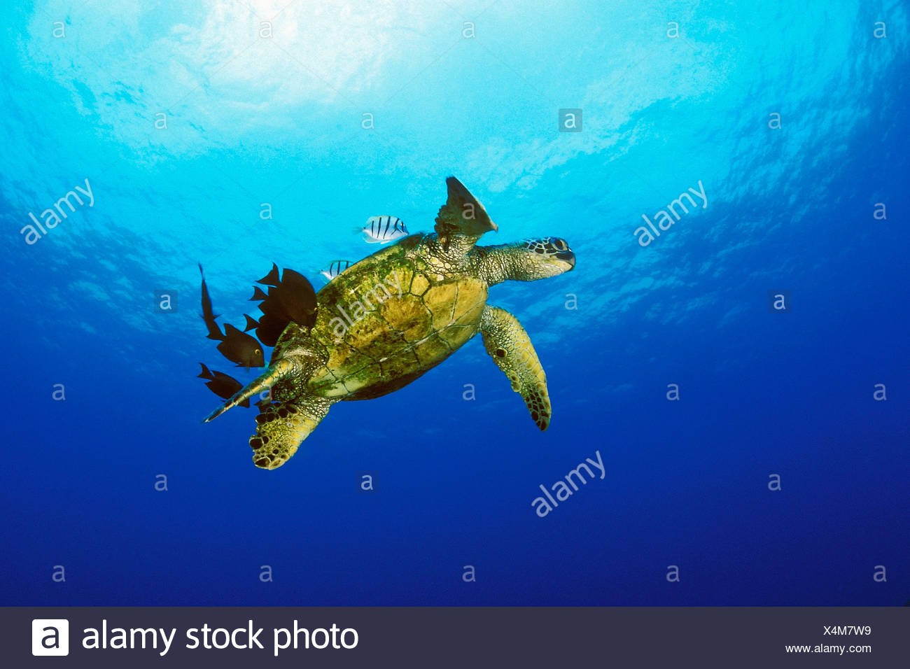 green sea turtle, Chelonia Mydas, Hawaii, USA, Kona, Big Island, Pacific Ocean Stock Photo