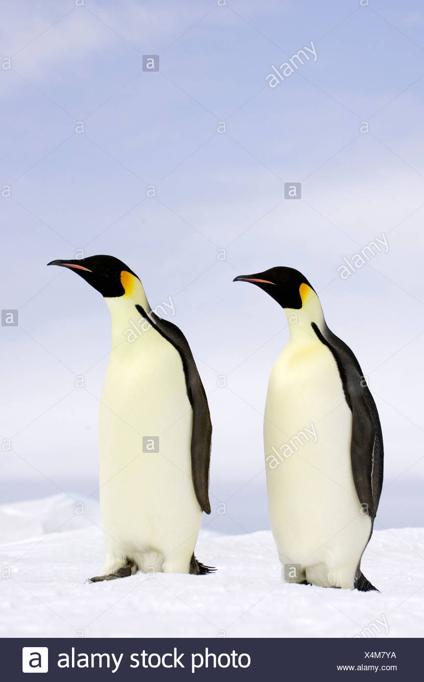 Empereor penguins the Antarctic - Stock Image