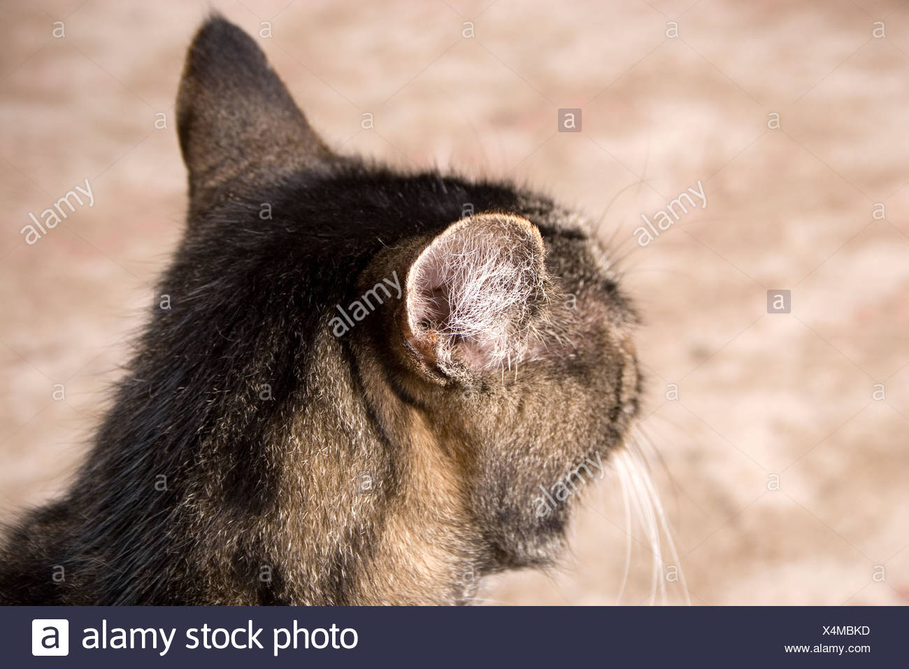 close up tabby cats ears pinned back - Stock Image