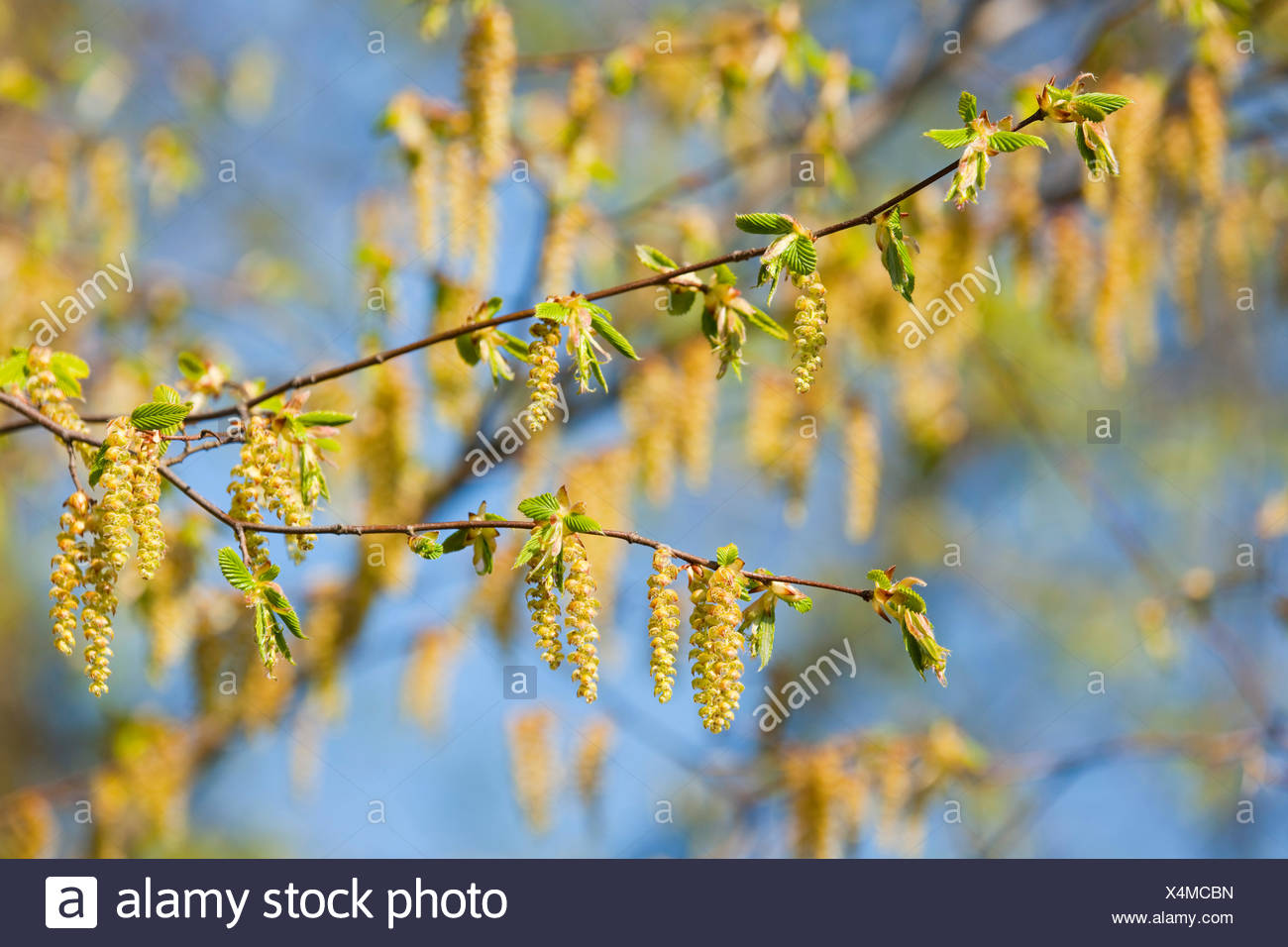 European Hornbeam (Carpinus betulus), male inflorescences, Lower Saxony, Germany - Stock Image