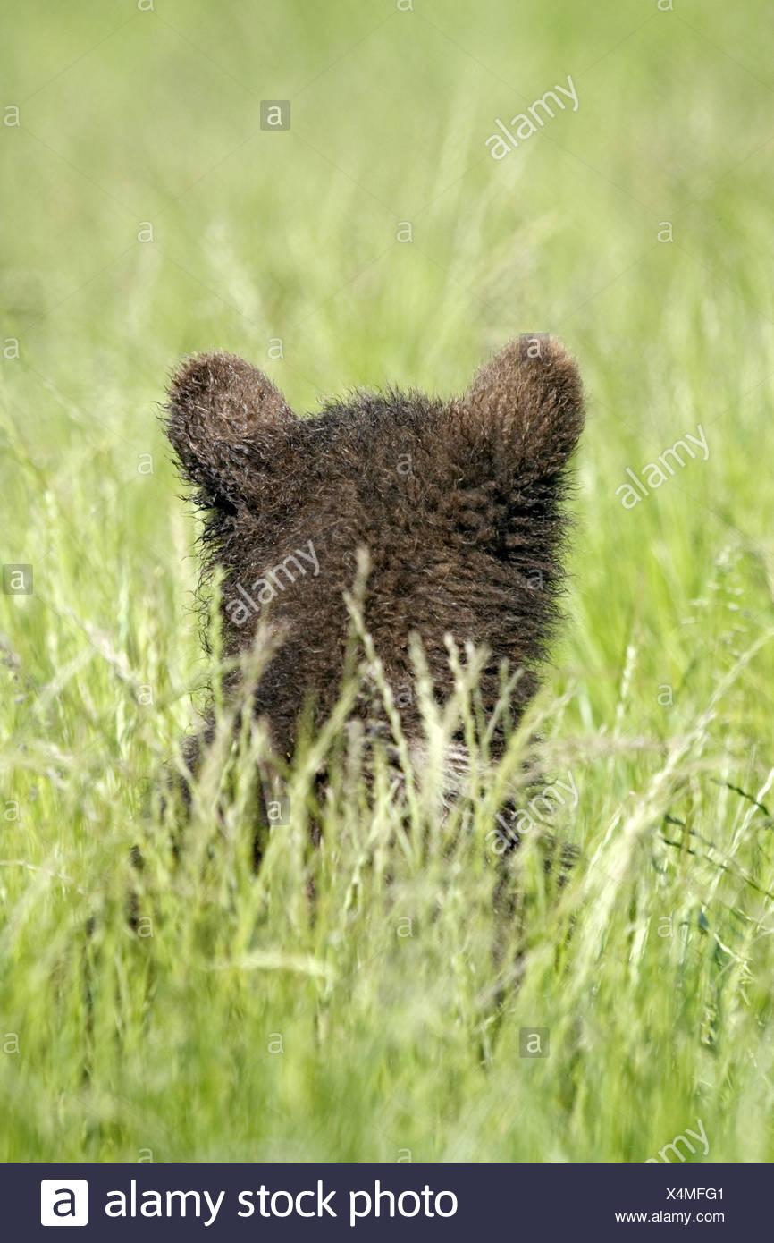 Brown bear, Ursus arctos, young animal, meadow, - Stock Image