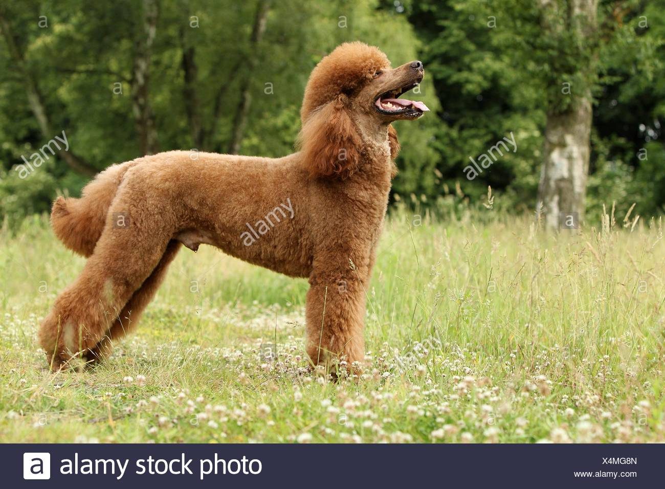 Poodle Side View Stock Photos & Poodle Side View Stock Images - Alamy