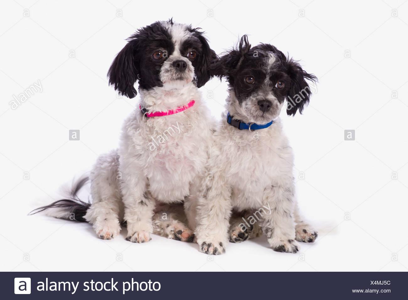 black and white havanese puppies