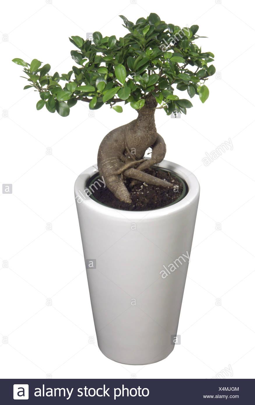 Ficus Ginseng Bonsaitree Stock Photo 278278132 Alamy