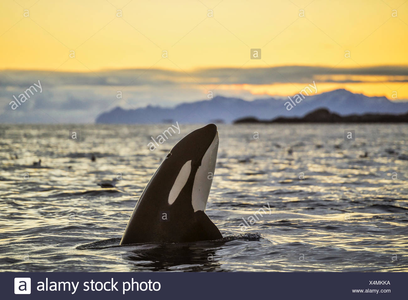 Orca (Orcinus orca) looking out of the water, Spyhopping, sunset, mountains at back, Kaldfjorden, Tromvik, Norway - Stock Image