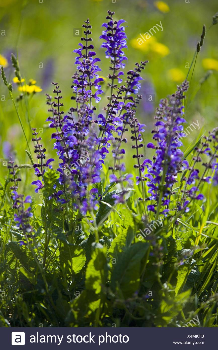 Flower meadow, meadow sage, goatsbeard, Stock Photo