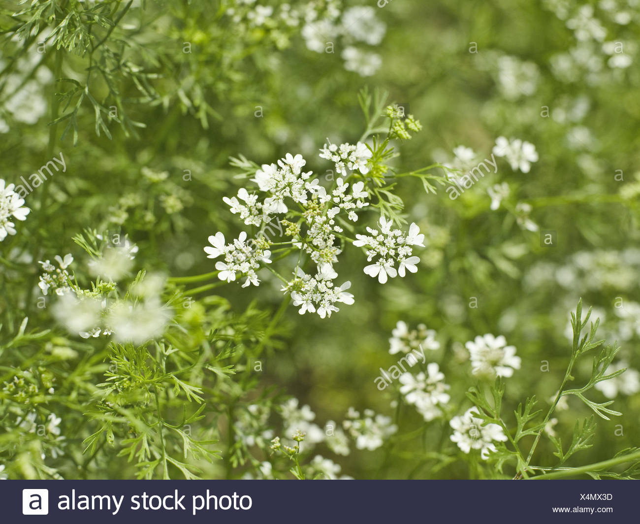 Caraway, Carum carvi, detail, blossoms, white, plant, Doldenblütler, herbs, culinary spice, useful plant, nature medicine, herbs, blossom, period of bloom, nature, outside, meadow caraway, Stock Photo