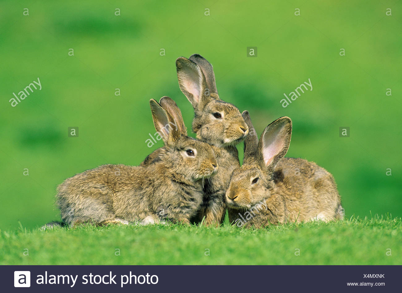 European Rabbit (Oryctolagus cuniculus). Three individuals on a meadow - Stock Image