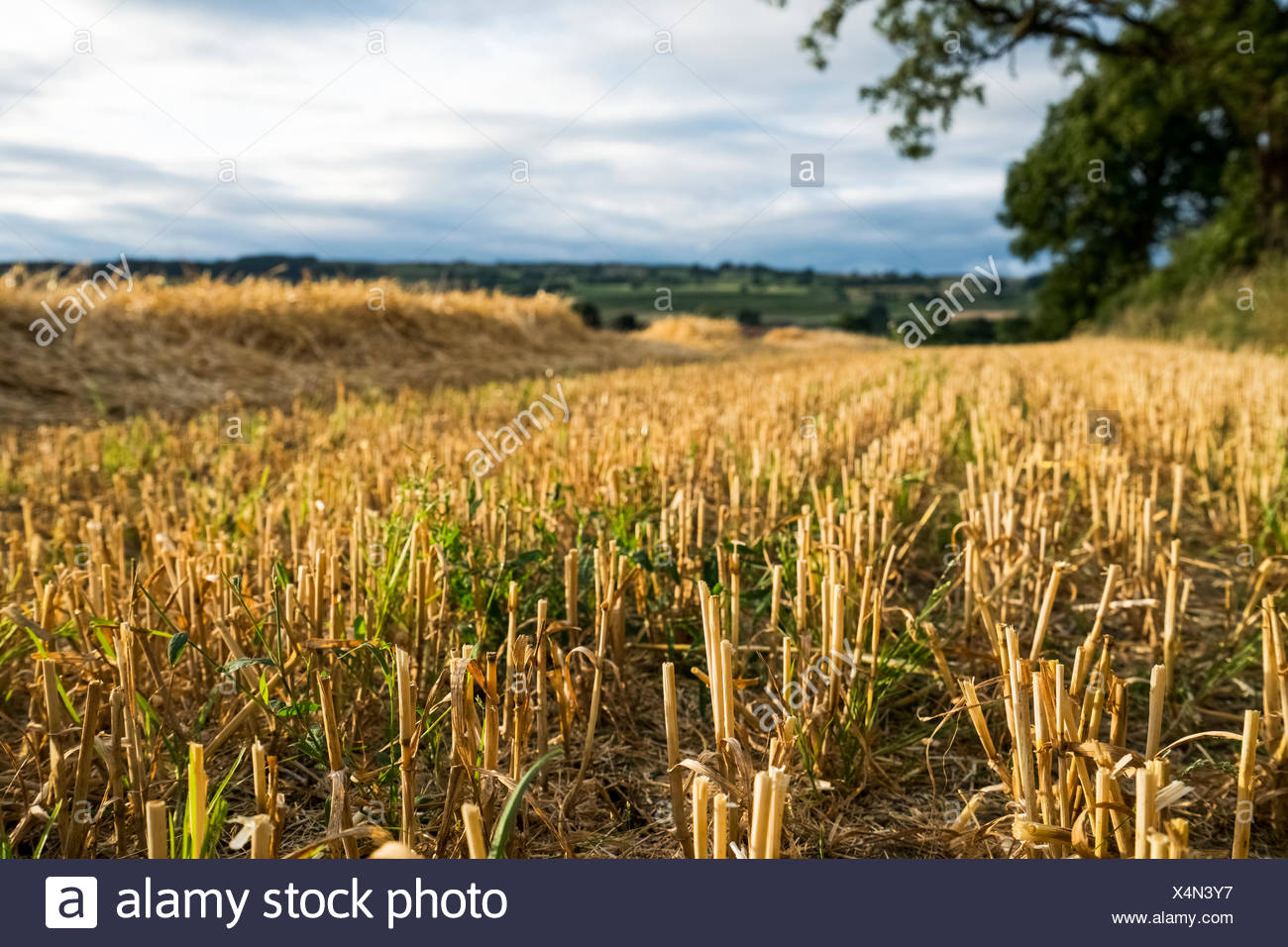 Crop stubble in a field under a cloudy sky; Ravensworth, North Yorkshire, England - Stock Image