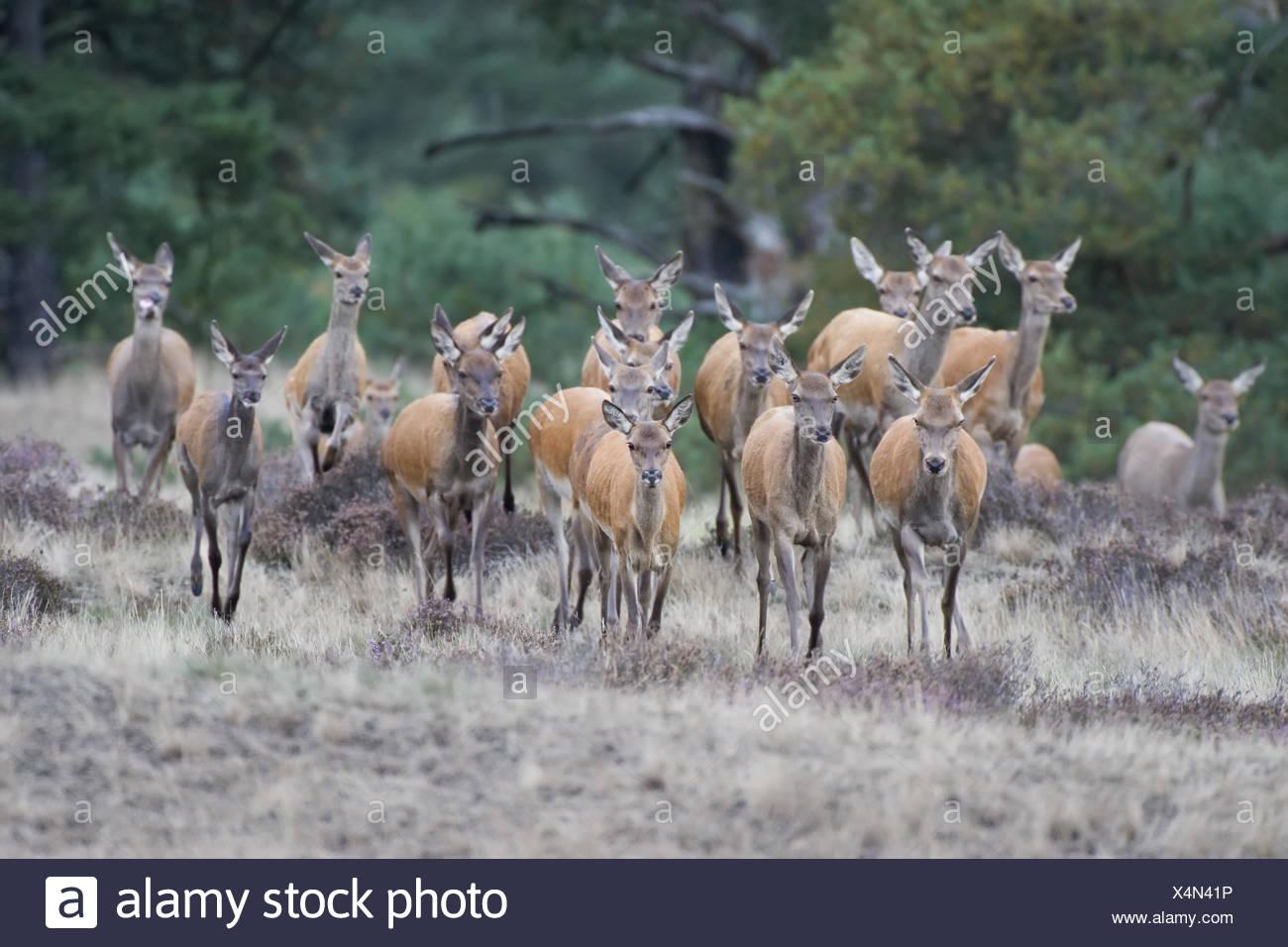 herds of deer Stock Photo