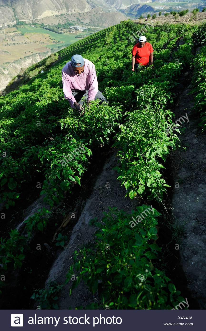 Farmers working on an irrigated field growing peppers (Capsicum annuum) in the Andean highlands, African-Ecuadorian community of - Stock Image