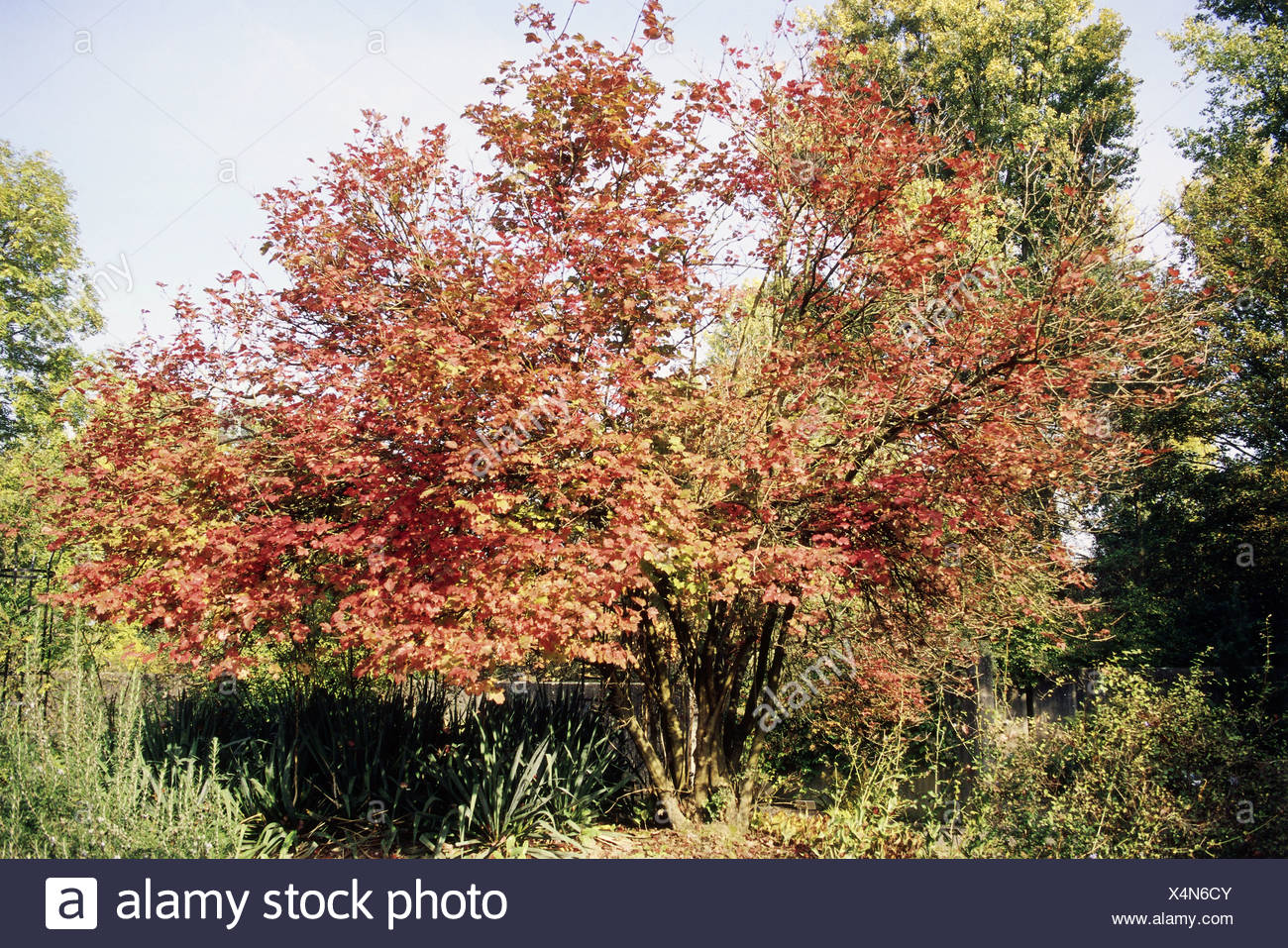 botany, Viburnum, Wayfaring Tree, (Viburnum lantana),  Asteridae, Dipsacales, Adoxaceae, caprifoliaceae, Additional-Rights-Clearance-Info-Not-Available Stock Photo