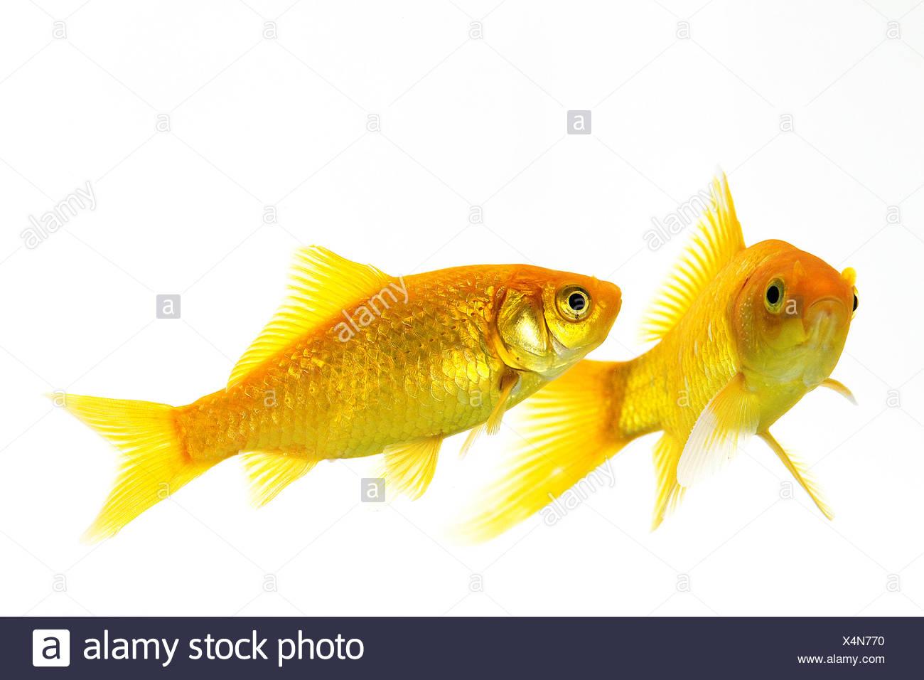 Goldfish, carassius auratus, Adults Against White Background Stock Photo