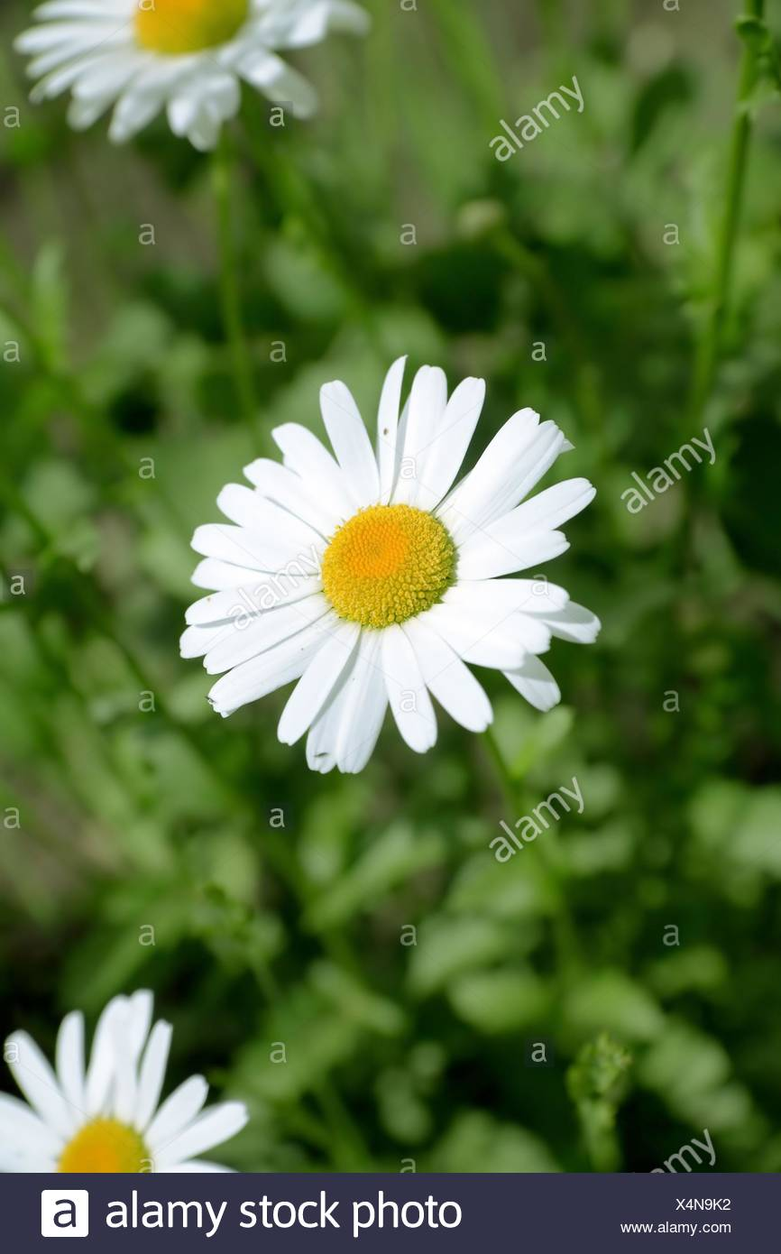 camomile in the field on a background a green gras Stock Photo