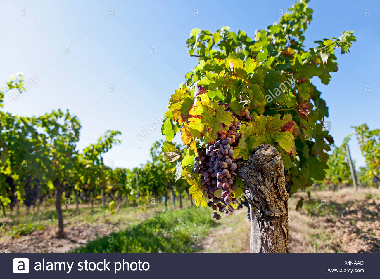 Bunches of purple grapes hanging on vine in vineyard - Stock Image