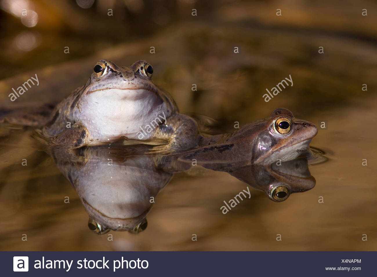 Close-up of two frogs in a pond Stock Photo