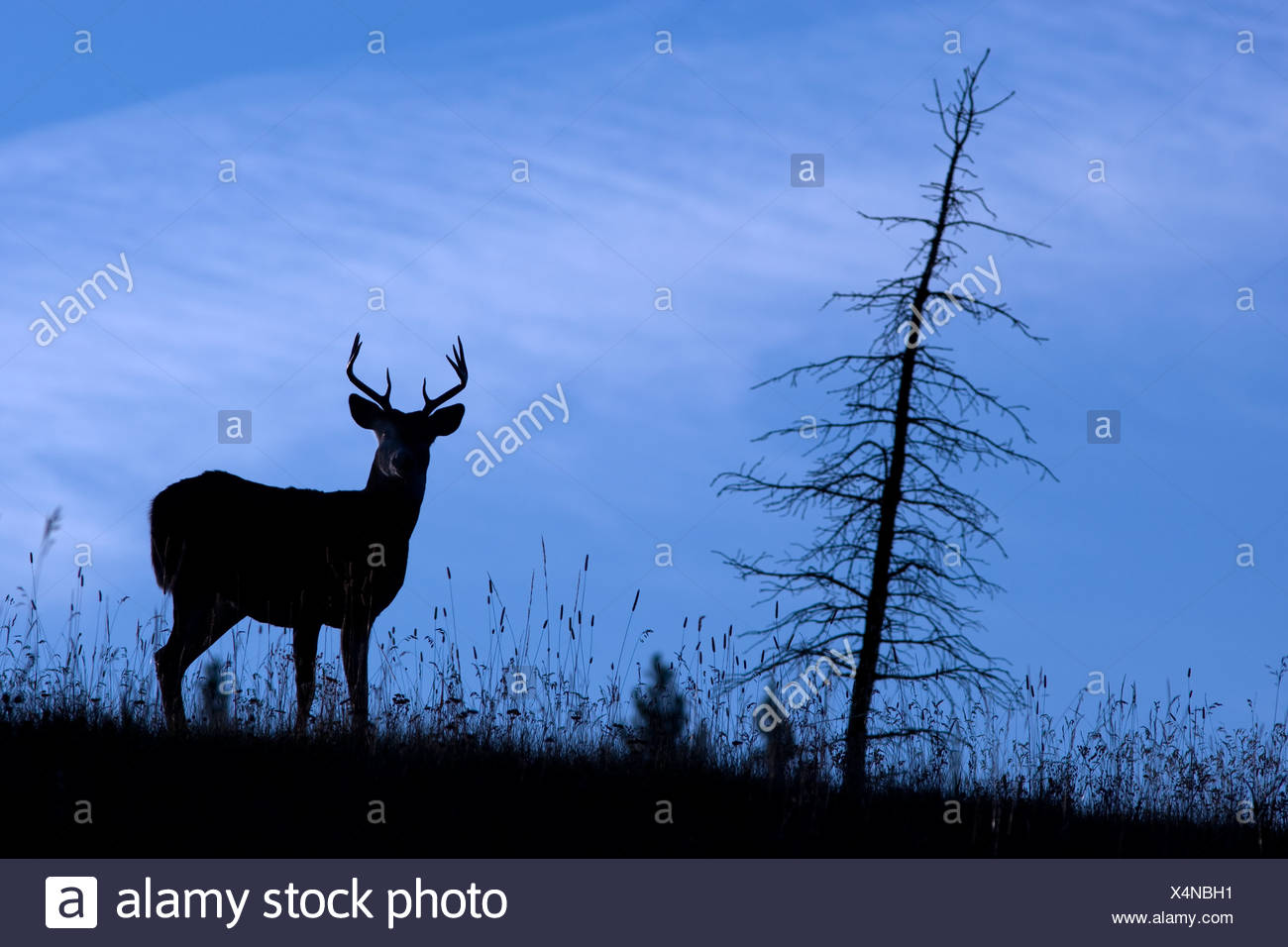 A White Tailed Dear (Odocoileus Virginianus) stands at attention on a hill in silhouette in Kananaskis Country, Alberta, Canada - Stock Image