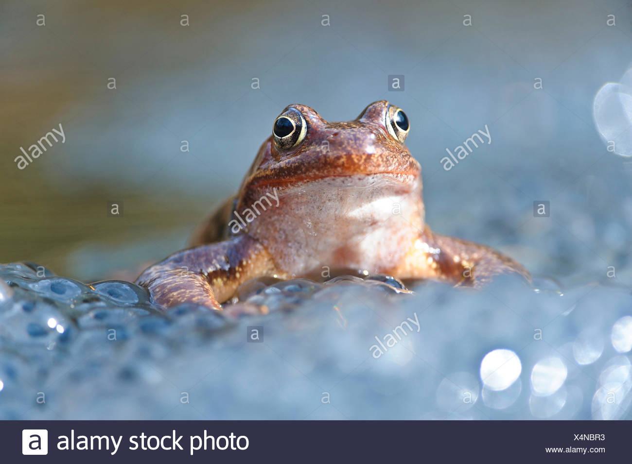 Grasfrosch (Rana temporaria) Grass Frog Stock Photo