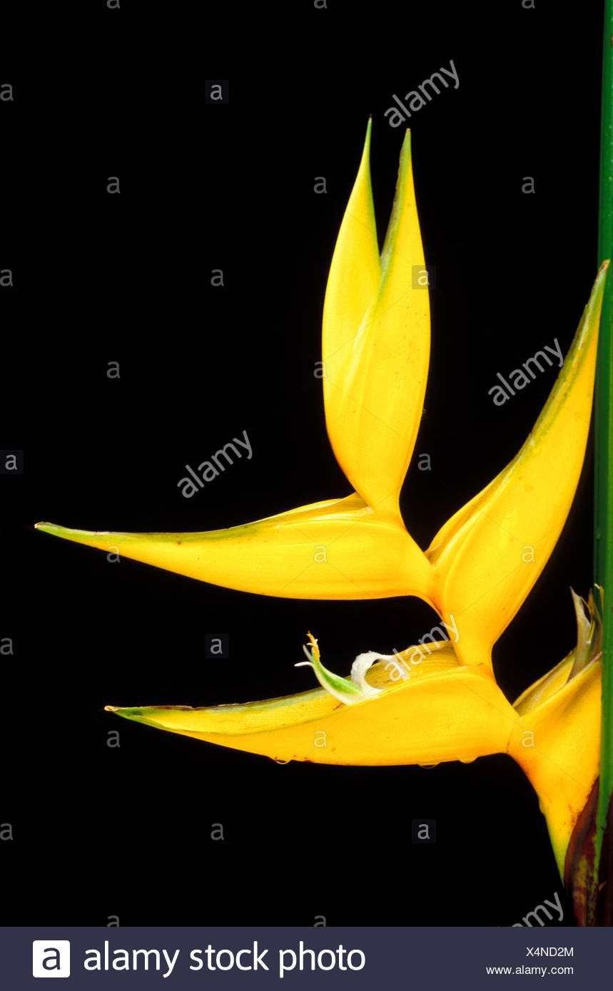 A close-up of a Heliconia bihai, cv. Yellow Dancer, blossom against a dark background Stock Photo