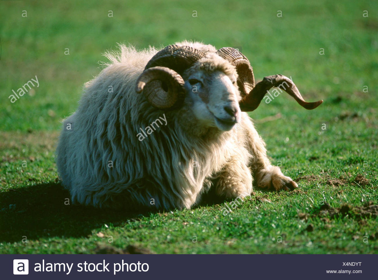 zoology / animals, mammal / mammalian, sheep, (Ovis), Walachian sheep, lying on meadow, distribution: Slovakia, Czech Republic, - Stock Image