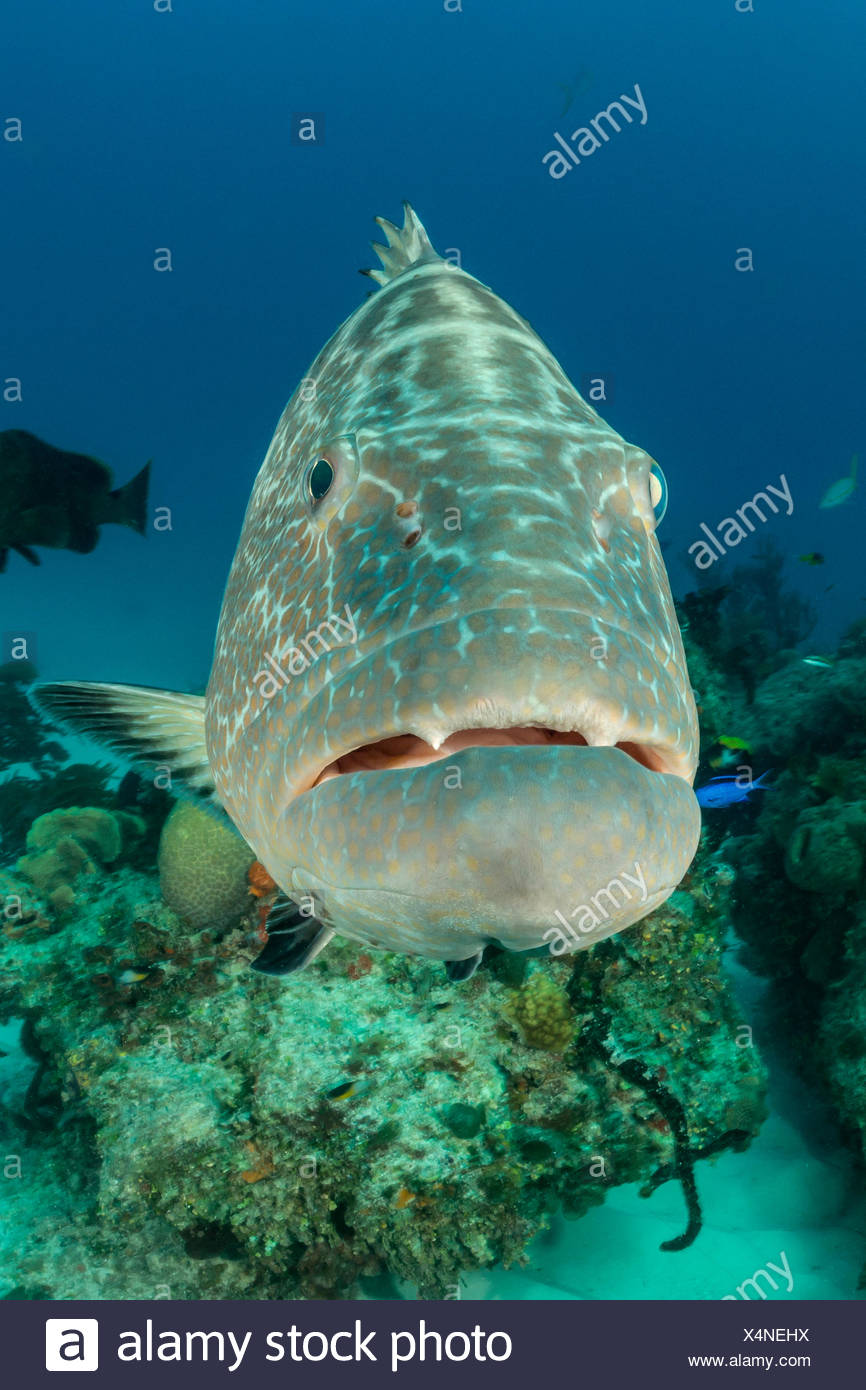 Black Grouper, Mycteroperca bonaci, Tiger Beach, Bahamas - Stock Image