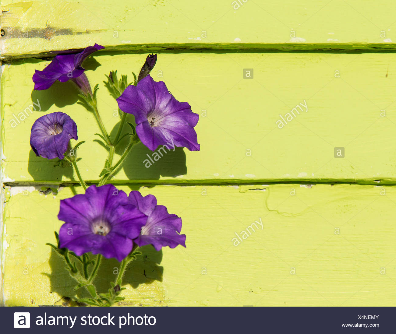 Purple Petunia against lime green wall. - Stock Image