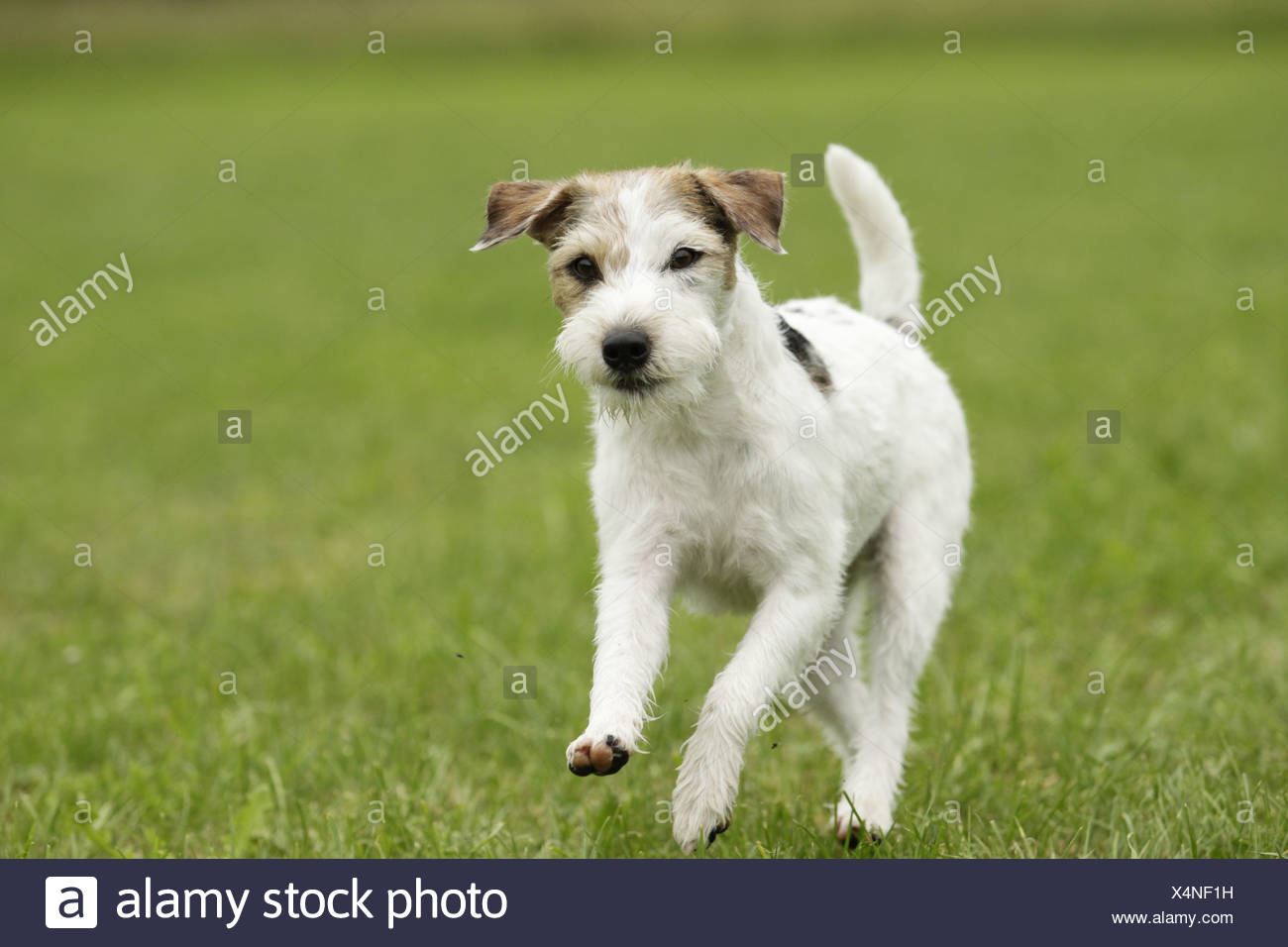 Parson Russell Terrier outdoor - Stock Image