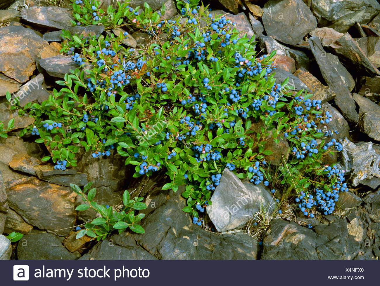 Agriculture - Lowbush blueberry (Vaccinium angustifolium) plant with ripe fruit / near Coniston, Ontario, Canada. - Stock Image