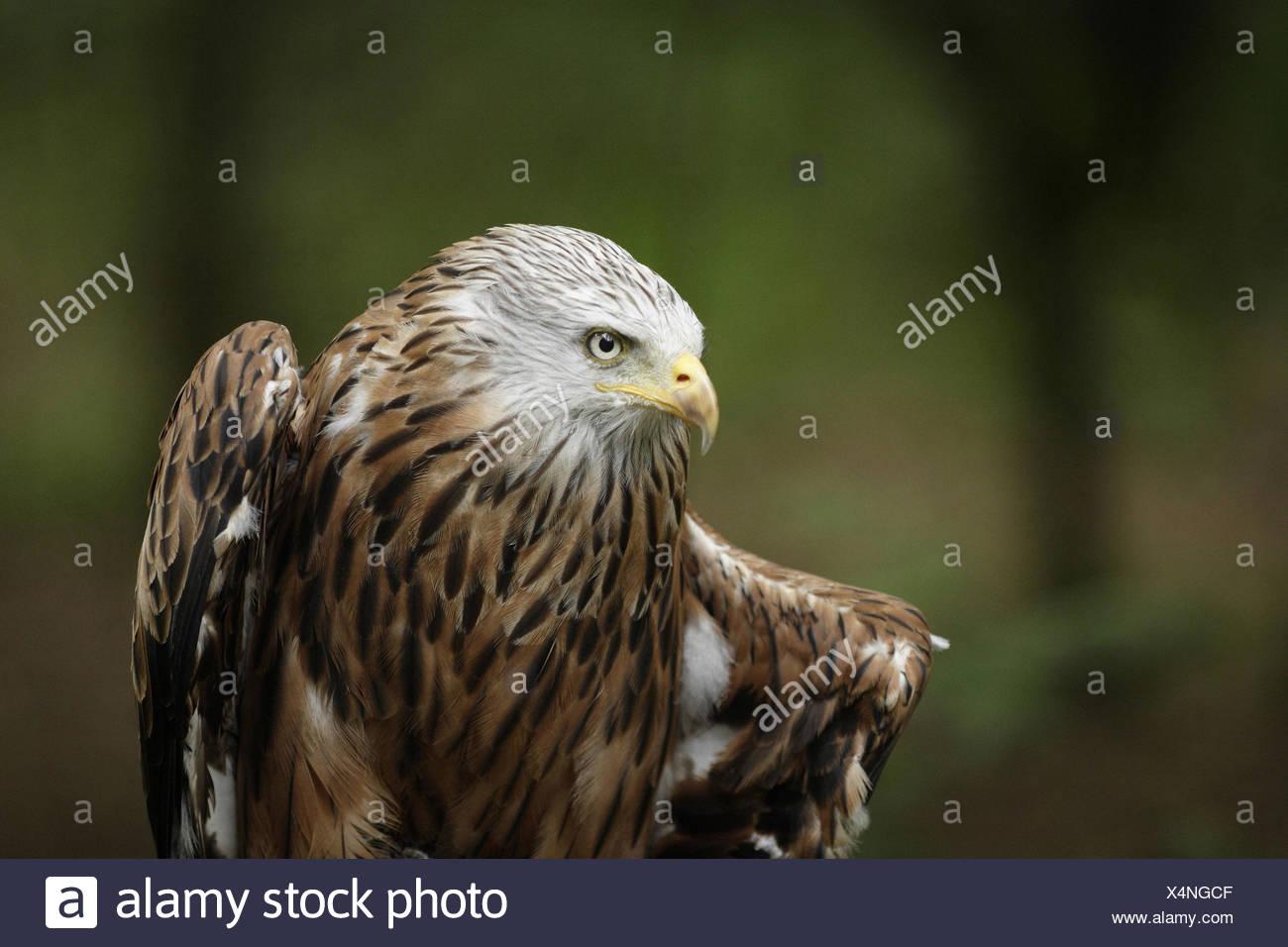 Milvus, portrait, bird of prey, red kite, head, kite, wildlife, Vertebrata, Wildlife - Stock Image
