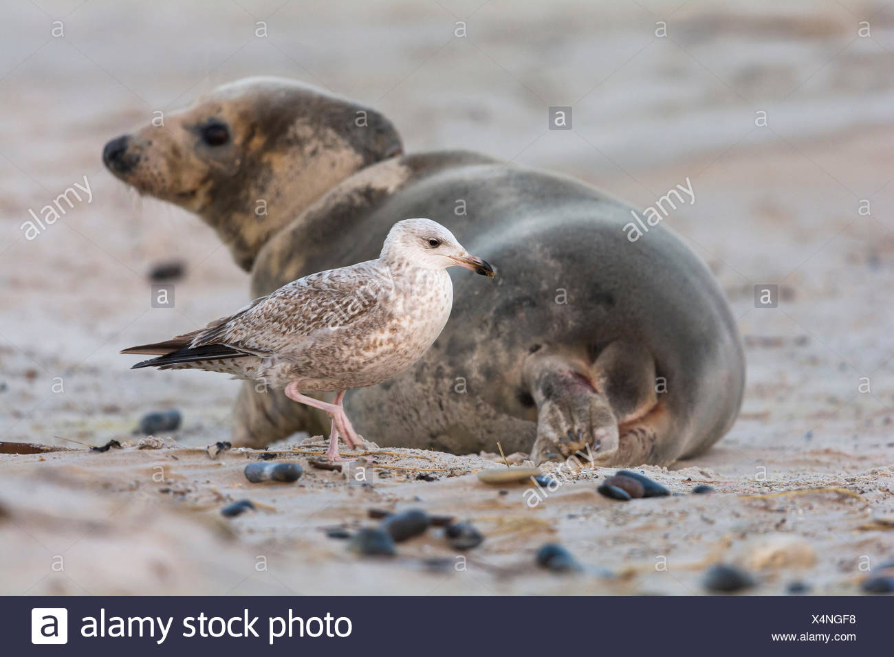 Grey Seal, Halichoerus grypus, Female, Juvenile Herring Gull, Larus argentatus, Lurking on Afterbirth, Europe Stock Photo