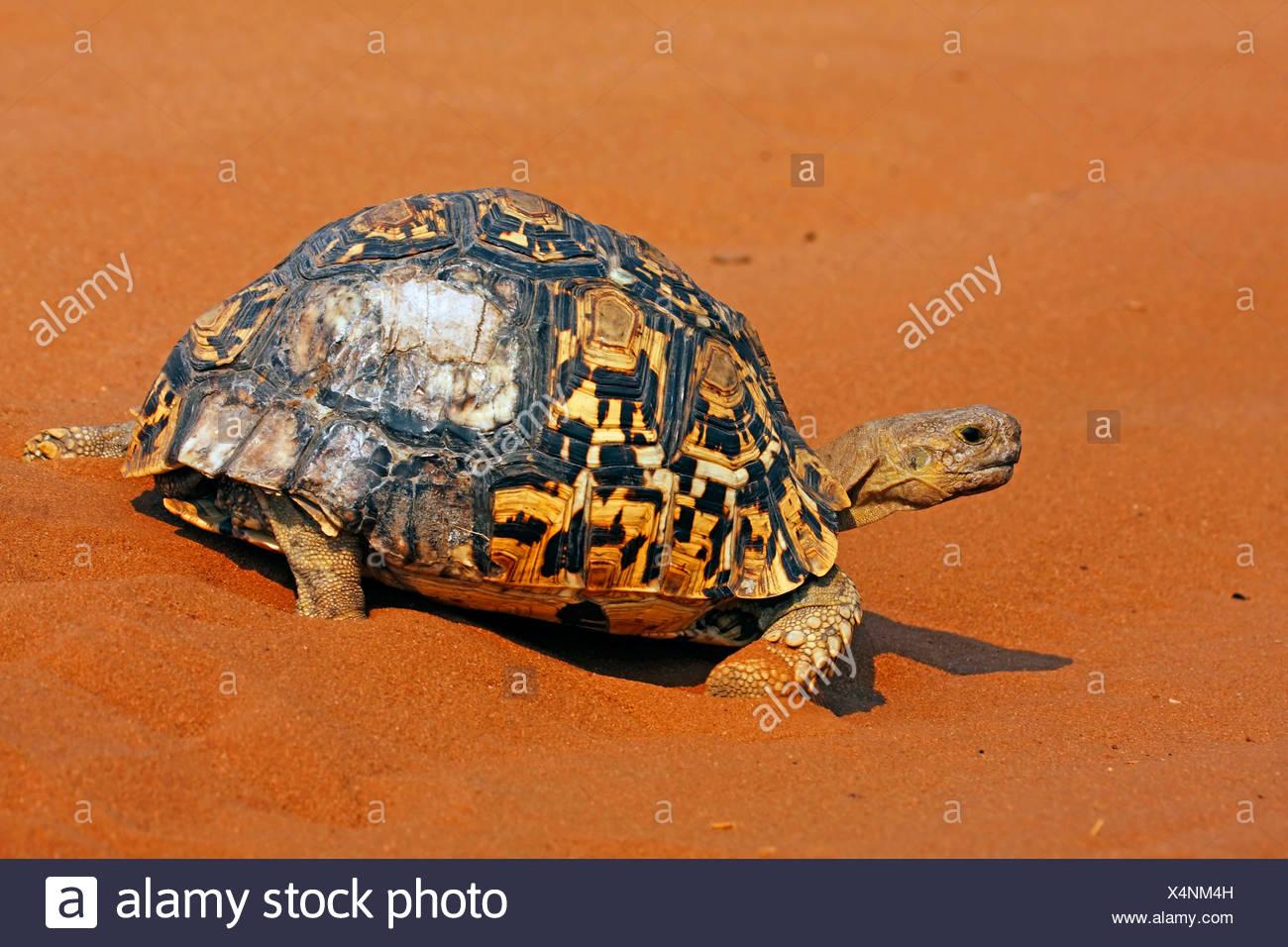 leopard tortoise (Geochelone pardalis), walking in sand, Botswana, Chobe National Park - Stock Image