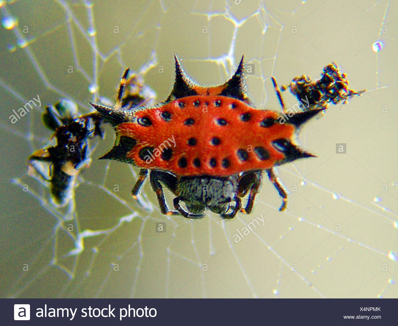 Radnetzspinne, Radnetz-Spinne, Gastercantha cancriformis (Gastercantha cancriformis), in ihrem Netz, Costa Rica | orbweb spider  - Stock Image