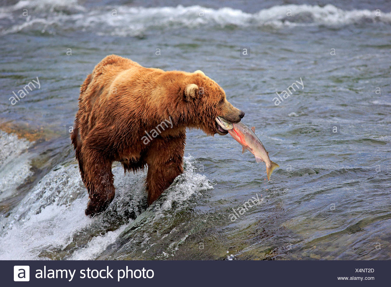 Grizzly Bear adult in water hunting salmon Brookes River Katmai Nationalpark Alaska USA North America / (Ursus arctos Stock Photo