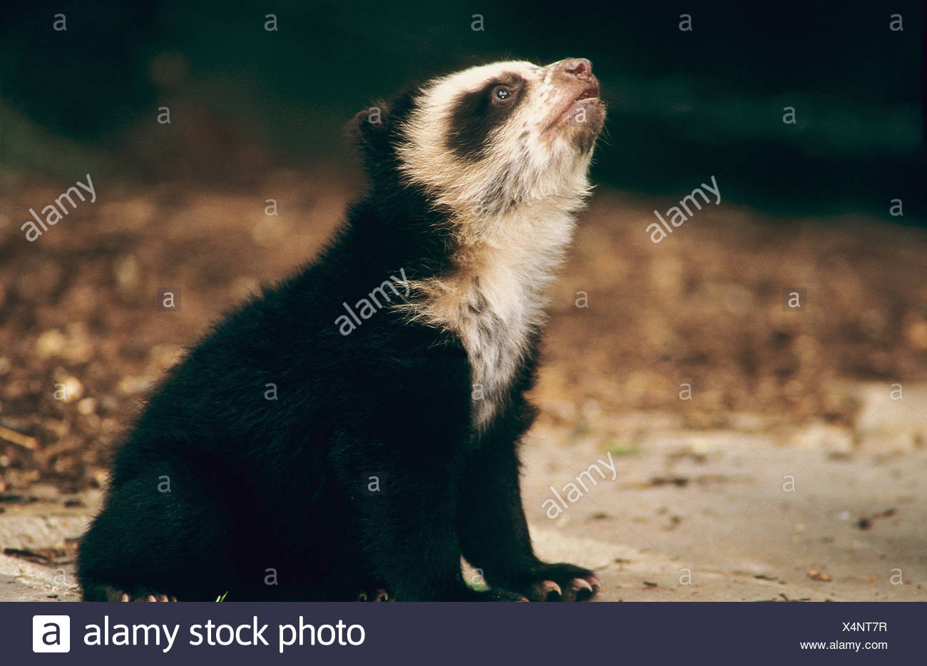 Spectacled Bear (Tremarctos ornatus). Young sitting, looking up Stock Photo
