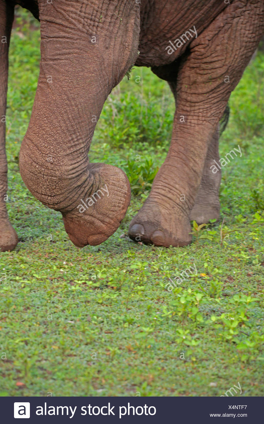 African elephant (Loxodonta africana), feet of an elephant, Tanzania, Serengeti National Park Stock Photo