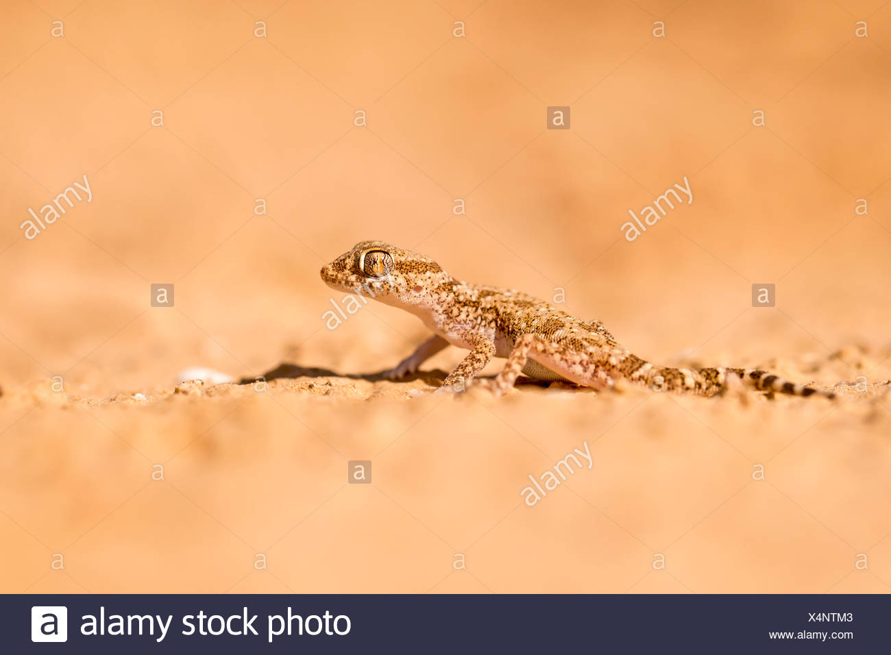 Short-fingered Gecko (Stenodactylus sthenodactylus) sometimes called dune gecko or dwarf gecko. This specie is common in collect Stock Photo