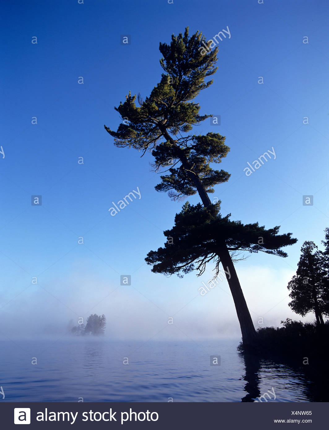 White Pine leans over South Tea Lake, on cool late summer morning, Algonquin Park, Ontario, Canada - Stock Image