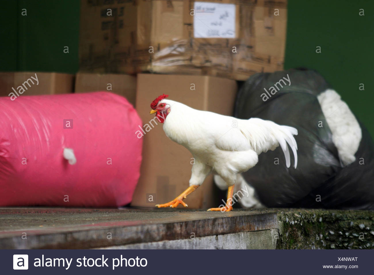 White Rooster - Stock Image