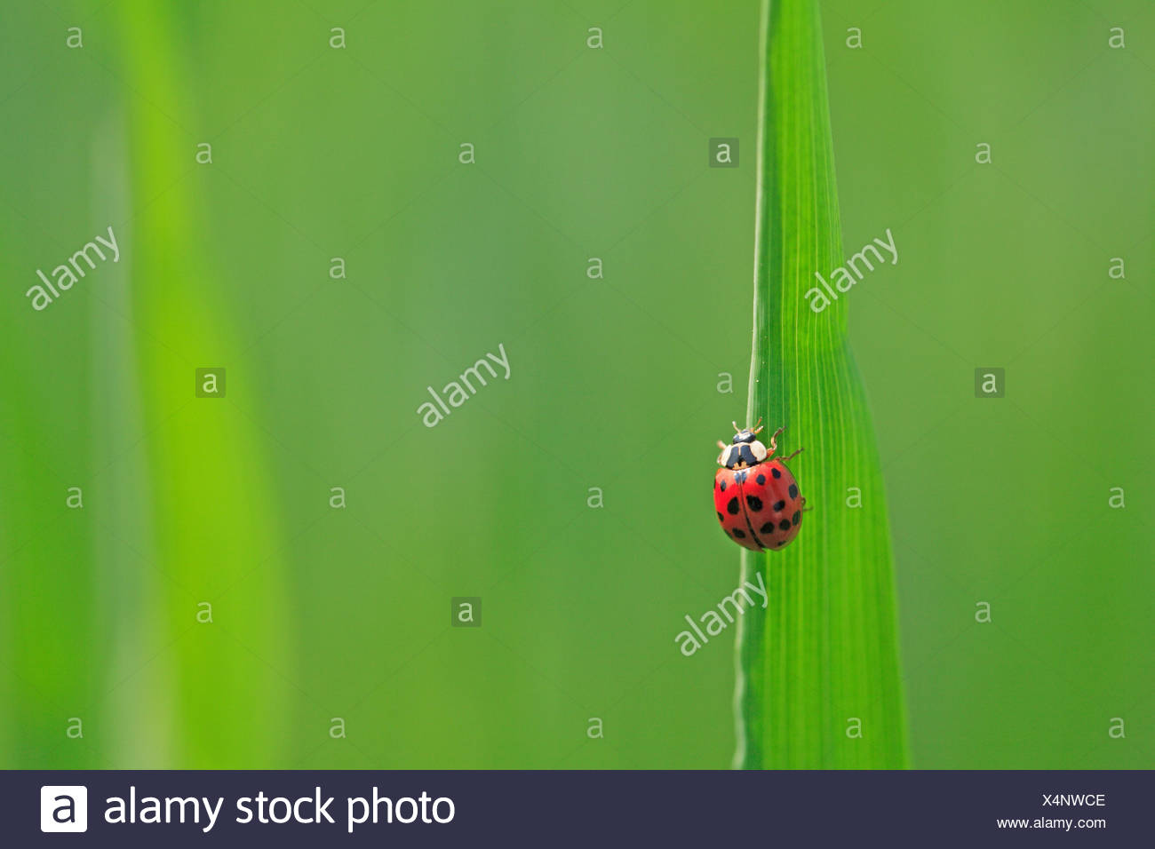 Blade of grass, ladybird, grass, leaves, stalk, green, animal, beetle, insect, red, dots, scored, luck bringer, luck beetle, Coccinellidae, nature, close up, copy space, - Stock Image