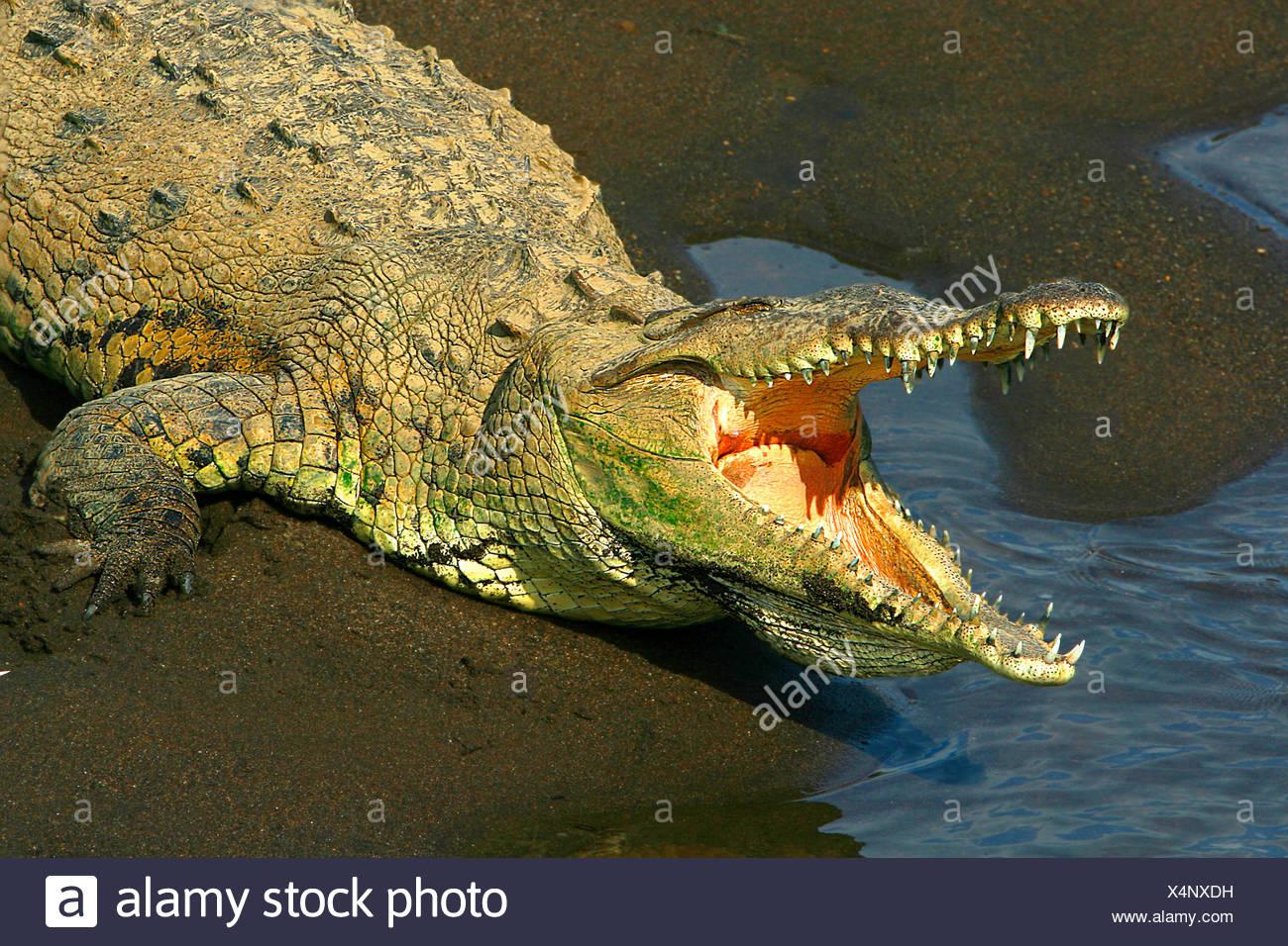 Spitzkrokodil, Spitz-Krokodil (Crocodylus acutus), sonnt