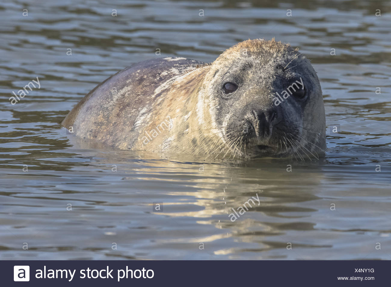 Young grey seal in the water - Stock Image