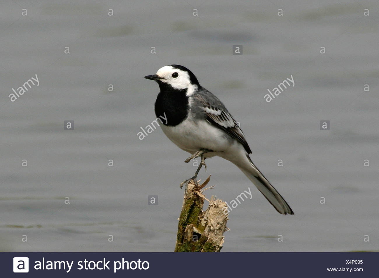 pied wagtail (Motacilla alba), sitting on one leg on a wood in front of water, Germany - Stock Image