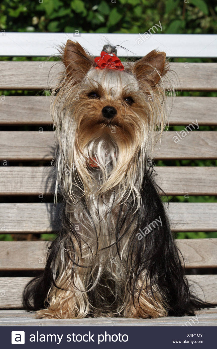 Yorkshire Terriers Stock Photos Yorkshire Terriers Stock Images
