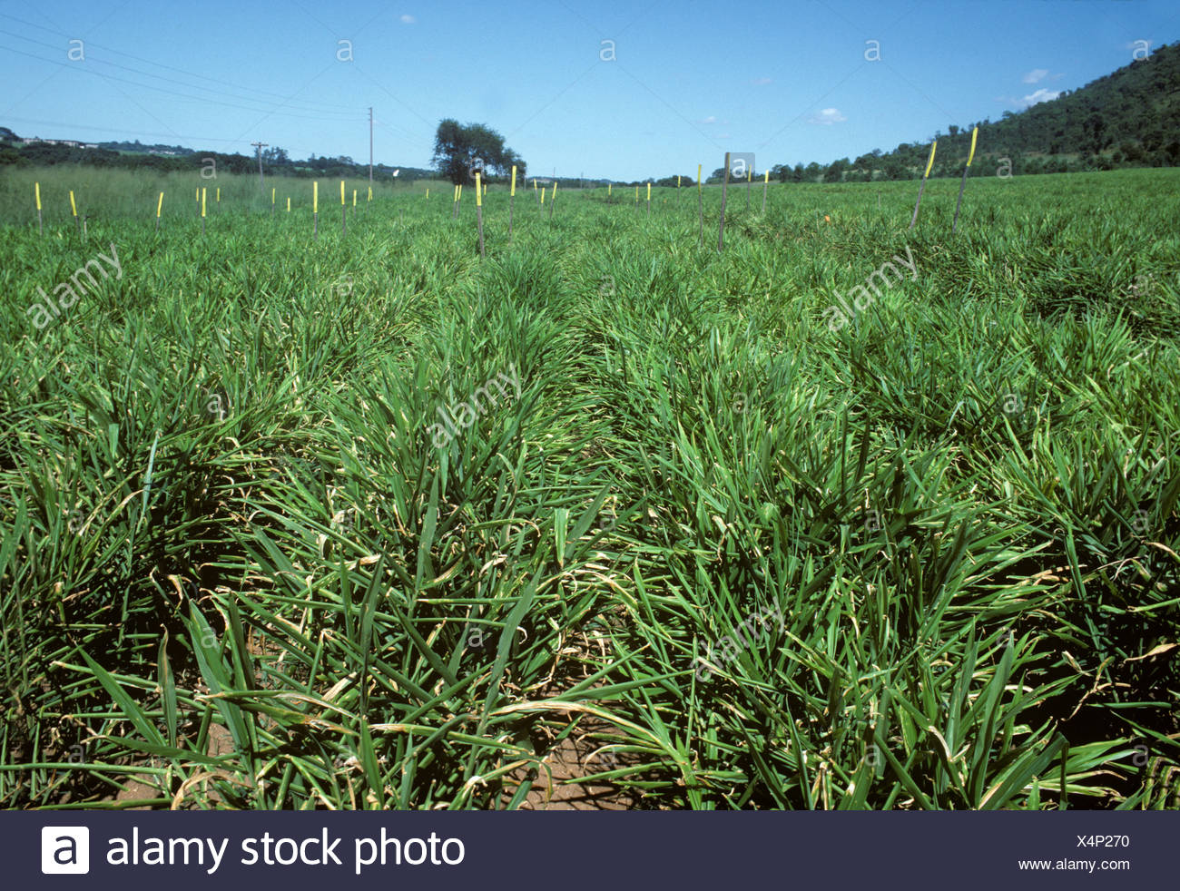 Root ginger crop fungicide trial near Nelspruit Transvaal South Africa - Stock Image