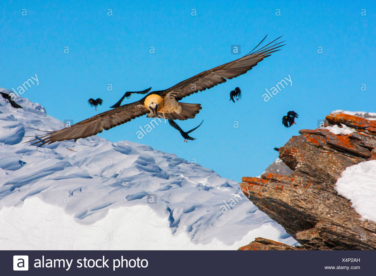 Lammergeier, Bearded Vulture (Gypaetus barbatus), bearded vulture in flight with alpine choughs, Switzerland, Valais, Leukerbad - Stock Image