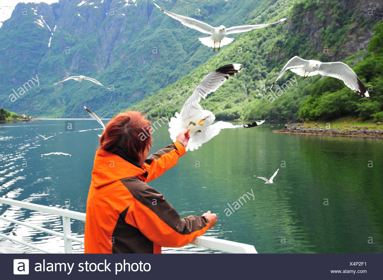 gulls feed - Stock Image