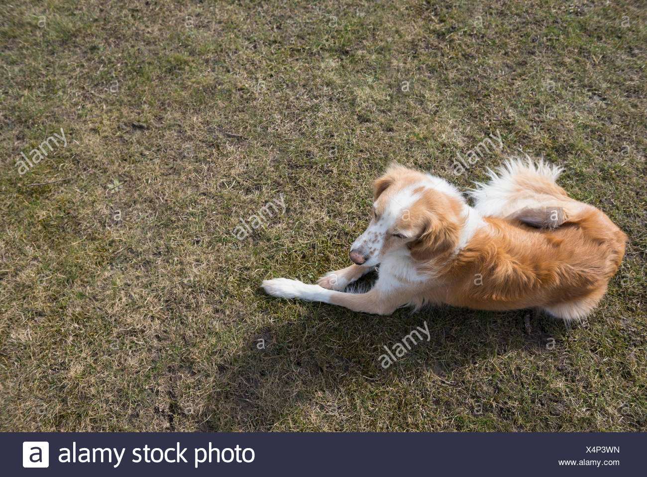 High angle view of dog sitting in field, Munich, Bavaria, Germany - Stock Image