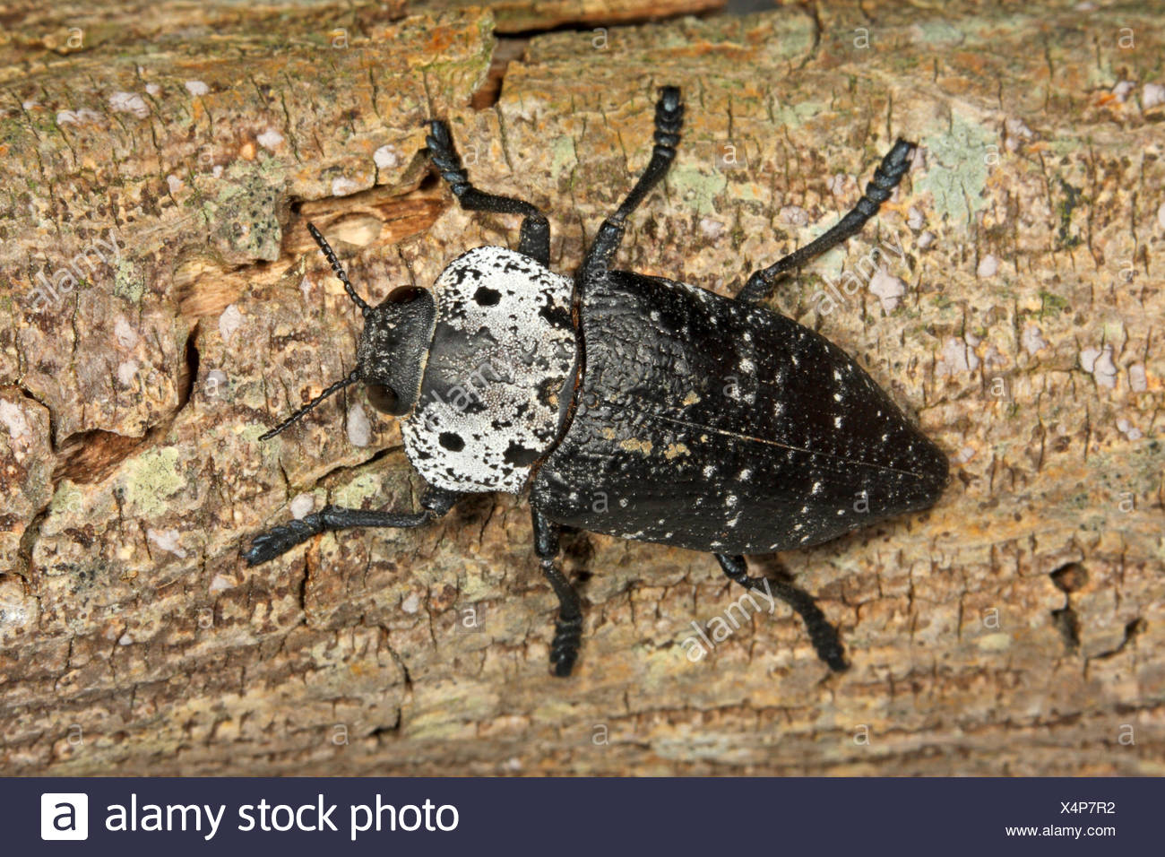 Capnodis  (Capnodis spec.), on deadwood - Stock Image
